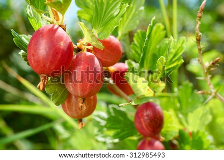 Macro of red ripe gooseberries fruits on the bush in the Home Garden