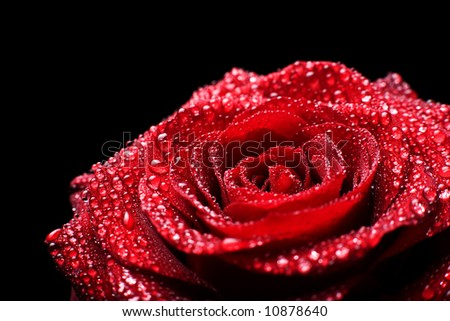 Macro of red rose bloom with water drops against black background. - stock photo