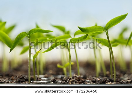 Macro of seedlings potted in peat tray over blue sky background  - stock photo