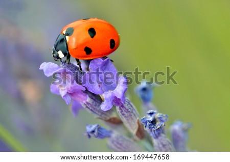 Macro of seven spot ladybug Coccinella septempunctata on lavender flower - stock photo