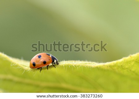 Macro of seven spots ladybug (Coccinella septempunctata) on leaf seen from profile - stock photo