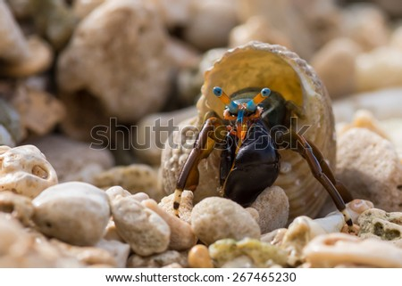 Macro of small hermit crab with blue & orange stripes - stock photo
