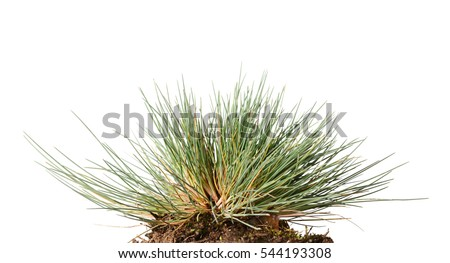 Macro of small wild grass tuft clustered in tussock isolated on white background