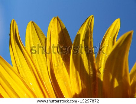 macro of sunflower petals and blue sky background - stock photo