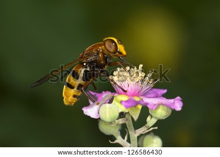 Macro of the hoverfly.Volucella zonaria