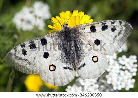 macro of this beautiful butterfly.Parnassius apollo - stock photo