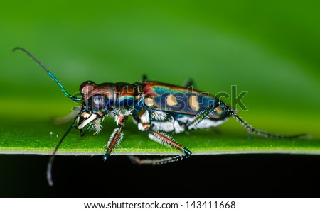 Macro of tiger beetle on green leaf at night - stock photo