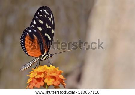 Macro of  Tiger Longwing (Heliconius hecale) butterfly feeding on flower (Lantana camara) - stock photo