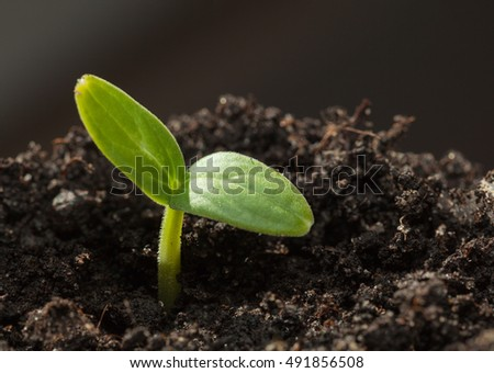 Macro of tiny cucumber seedling growing on organic soil, very first braird of vegetable at spring