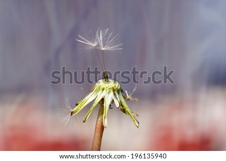 Macro of two dandelion seed on colorful background  - stock photo