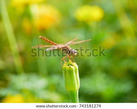 macro of yellow dragonfly  standing on Marigold flowers  with soft focus