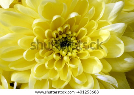 Macro of yellow flower aster for background - stock photo