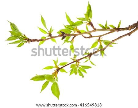 Macro of young foliage on poplar twigs isolated on white background - stock photo