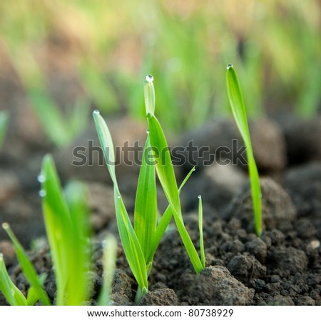 Macro of young wheat on farm land - stock photo