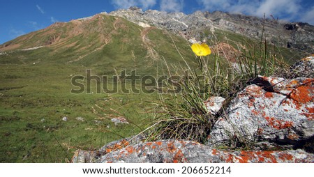 macro one beautiful yellow flower on the rocks at the foot of the Sayan mountains sunny summer day - stock photo