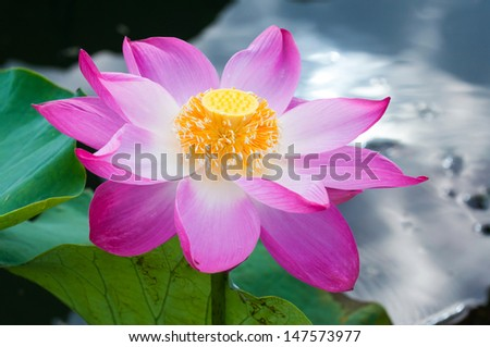 macro opened blossom of a beautiful pink lotus flower