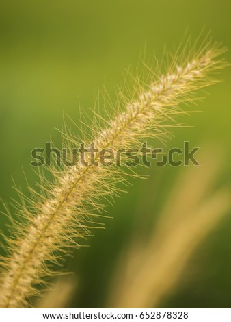 Macro or close up shot of a reed showing many fibres, east Thailand. Filtered shot with yellow cast.