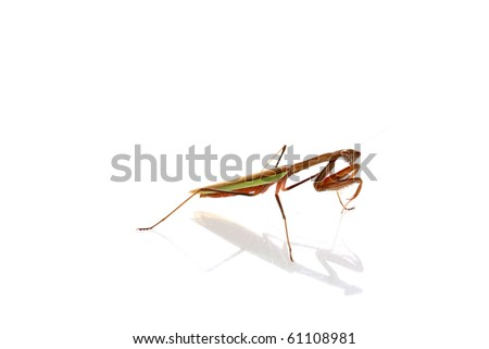 macro or close up view of a female california praying mantis. isolated on white