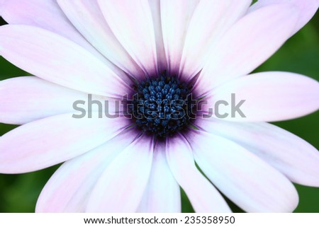 macro Osteospermum  purple pollen , flower - stock photo