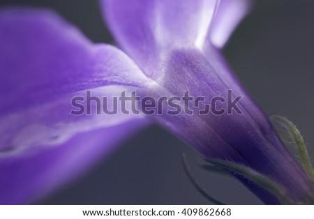 macro periwinkle vinca major flower  - stock photo