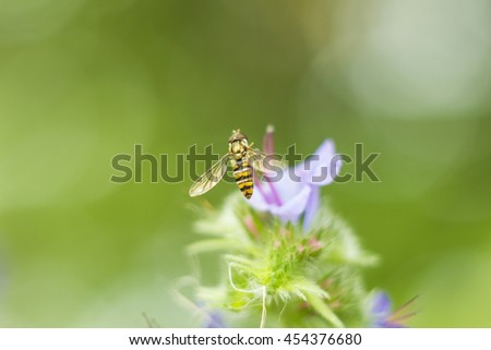 Macro photo Fly Hoverfly sometimes called flower flies or syrphid flies flying hoverfly sitting near a lilac flower in summer day. Black and yellow fly like wasp - stock photo