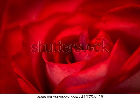 Macro photo of a beautiful blooming red rose. - stock photo