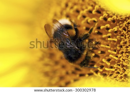 Macro photo of a bee in a sunflower. - stock photo