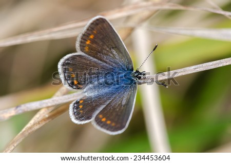 macro photo of a blue butterfly in Genoa - stock photo