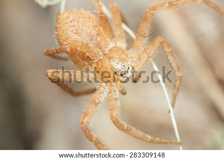 Macro photo of a Philodromus spider