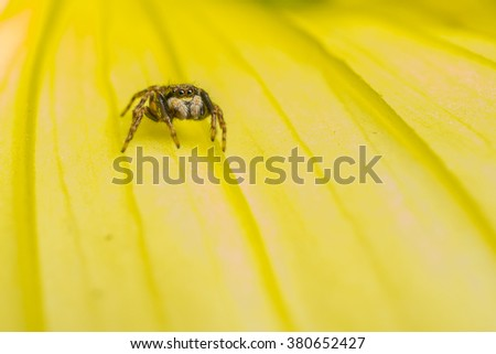 Macro photo of a small Jumping Spider on a yellow flower