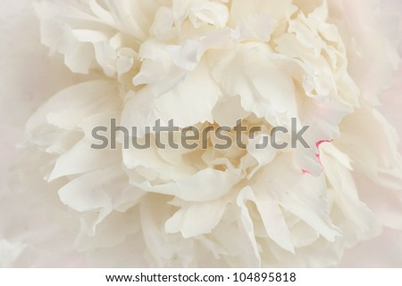 Macro photo of a stunning, creamy white peony - stock photo