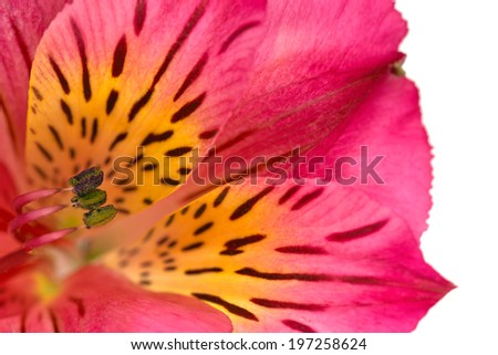 Macro photo of an alstroemeria flower, also known as Peruvian lily or lily of the Incas. HDR composite from multiple exposures and isolated on a white background. - stock photo