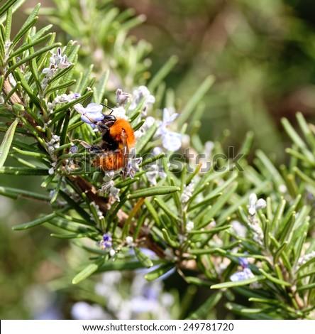 Macro photo of  Bumblebee working on Flower - stock photo
