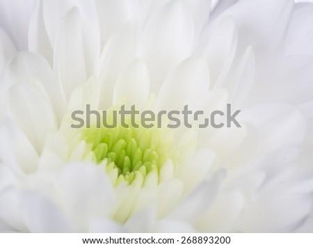 macro photo of chrysanthemum bloom center - stock photo
