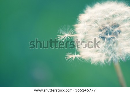macro photo of dandelion head