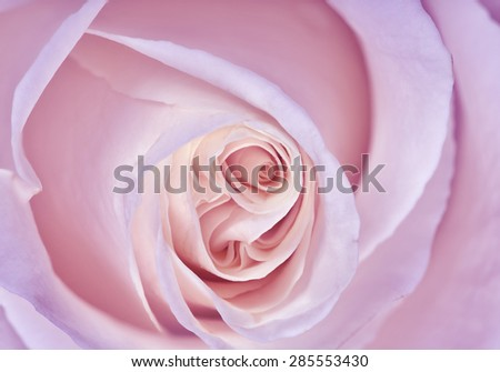 macro photo of delicate rose