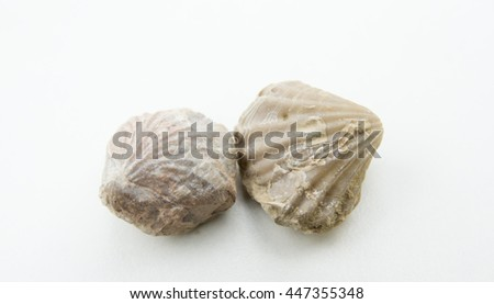 macro photo of fossil of pecten isolated over white - stock photo