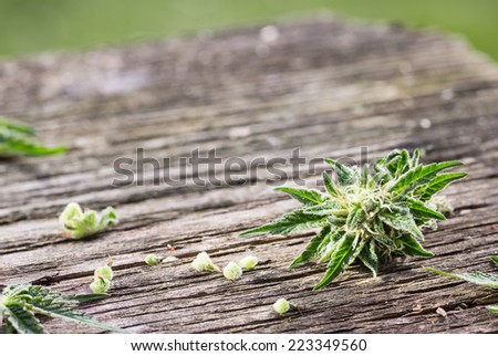 Macro photo of fresh marijuana on grunge wooden desk. Selective focus. Color toned image. - stock photo