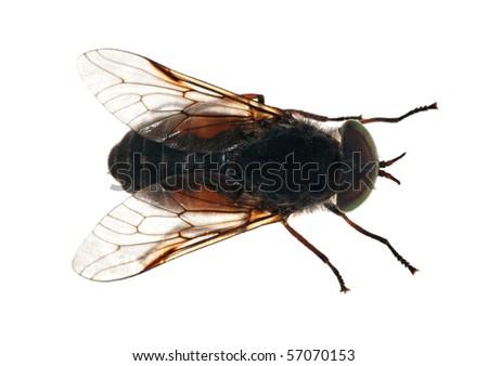 macro photo of gadfly isolated on white background - stock photo