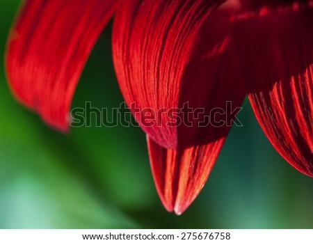 Macro photo of gerbera flower. Selective focus - stock photo