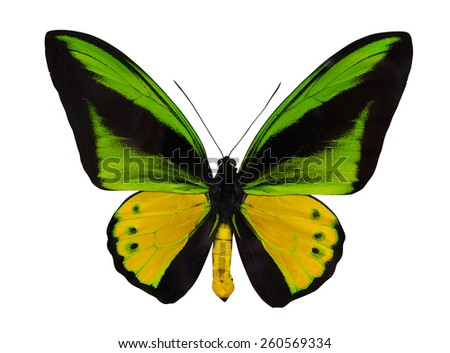 macro photo of green and yellow butterfly isolated on white background - stock photo