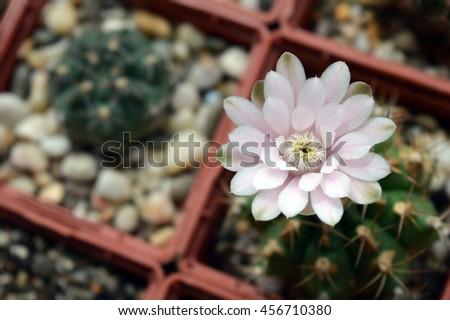 Macro photo of gymnocalycium anisitsii cactus flower with pink petals - stock photo