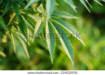 Macro photo of marijuana leaves. View from above. Color toned image. Selective focus. - stock photo