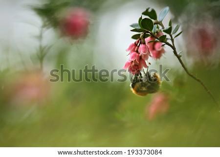 Macro photo of nice Bumblebee working on Flower  - stock photo