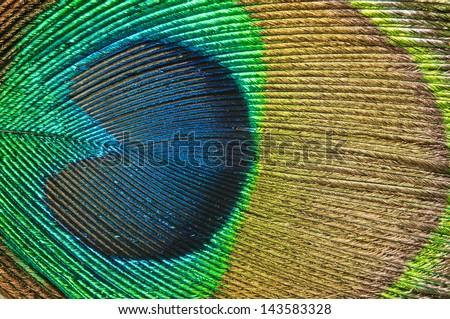 Macro photo of peacock feather. - stock photo