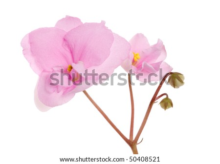 macro photo of pink violet isolated flower