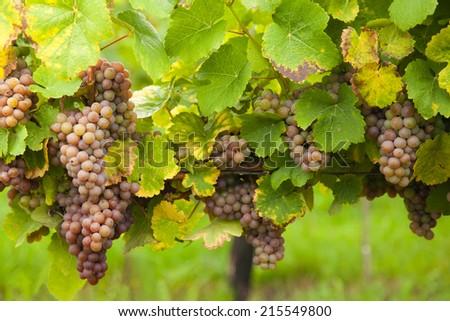Macro photo of pink wine grapes, low depth of focus - stock photo