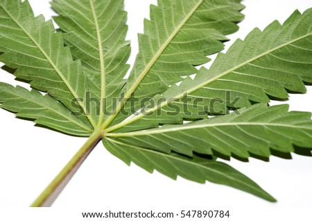 Macro photo of the underside of a cannabis plant's leaf isolated on white