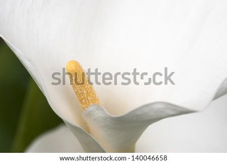 Macro photo of white calla lily flower (zantedeschia). - stock photo