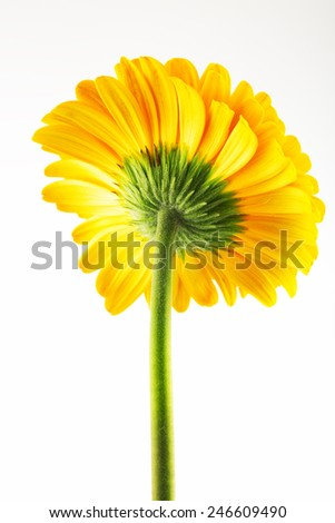 Macro photo of yellow gerbera flower